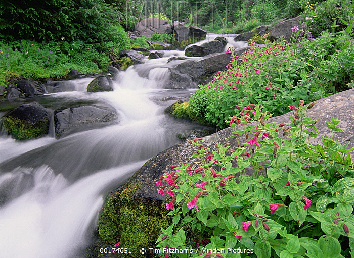 Paradise River surrounded by spring flowers, Mt Rainier National Park, Washington  -  Tim Fitzharris
