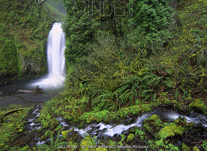 Multnomah Falls cascading through temperate rainforest, Columbia River Gorge near Portland, Oregon  -  Tim Fitzharris