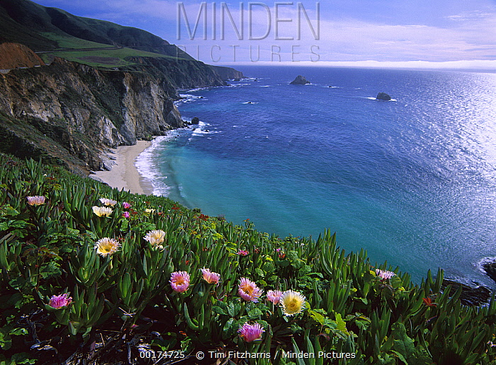 Ice Plant (Carpobrotus edulis), Big Sur coast near Bixby Creek, California  -  Tim Fitzharris