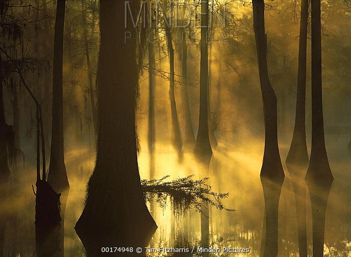 Bald Cypress (Taxodium distichum) grove in freshwater swamp at dawn, Lake Fausse Pointe, Louisiana  -  Tim Fitzharris