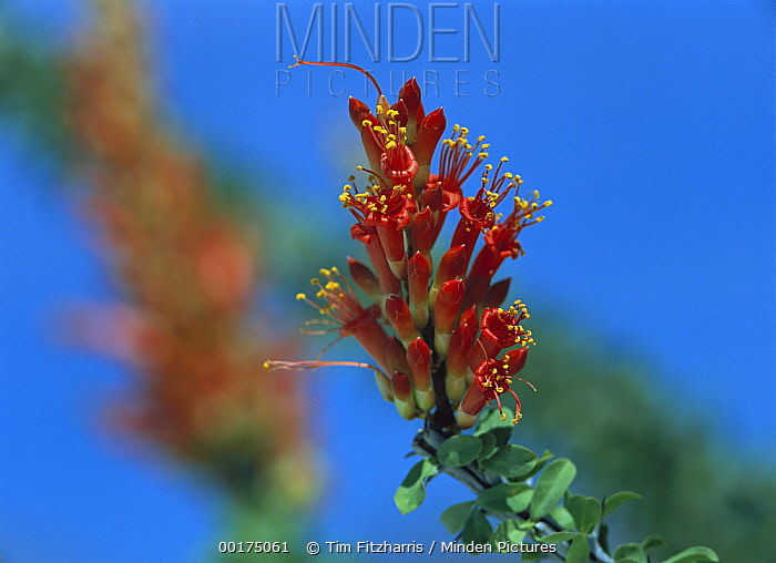 Ocotillo (Fouquieria splendens) cactus blooming during rainy season, native to Sonoran and Chihuahuan Deserts of southeast California and west to Texas  -  Tim Fitzharris