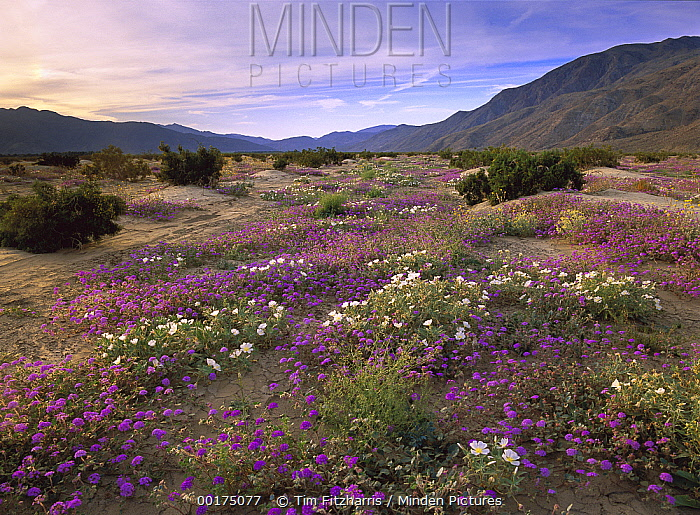 Sand Verbena (Abronia sp) and primrose blooming, Anza-Borrego Desert State Park, California  -  Tim Fitzharris