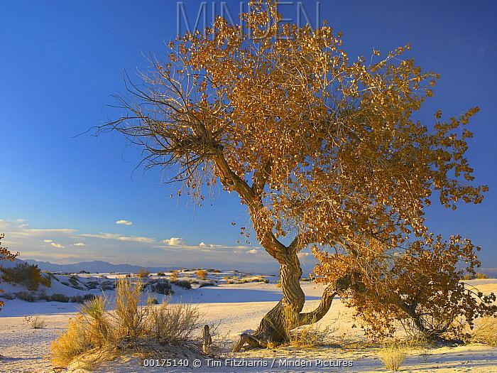 Fremont Cottonwood (Populus fremontii) tree single tree in desert, White Sands National Monument, Chihuahuan Desert New Mexico  -  Tim Fitzharris