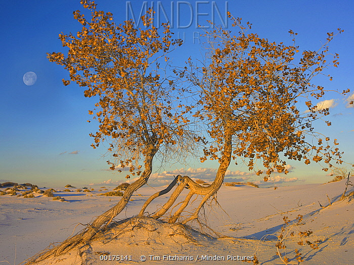 Fremont Cottonwood (Populus fremontii) trees growing in the Chihuahuan Desert at White Sands National Monument, New Mexico  -  Tim Fitzharris