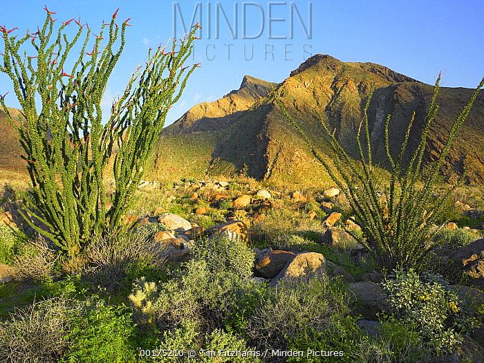 Ocotillo (Fouquieria splendens), Borrego Palm Canyon, Anza-Borrego Desert State Park, California  -  Tim Fitzharris