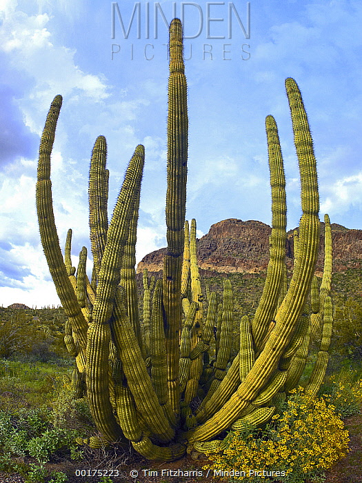 Organ Pipe Cactus (Stenocereus thurberi), Arizona  -  Tim Fitzharris