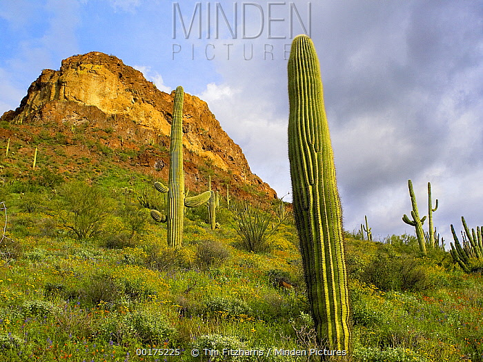 Organ Pipe Cactus (Stenocereus thurberi), Organ Pipe Cactus National Monument, Sonoran Desert, Arizona  -  Tim Fitzharris