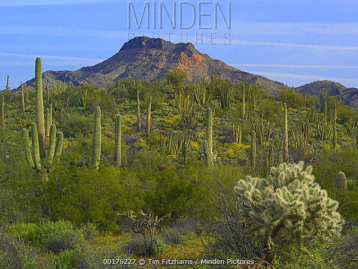 Organ Pipe Cactus (Stenocereus thurberi), Organ Pipe Cactus National Monument, Sonoran Desert, Arizona  -  Tim Fitzharris
