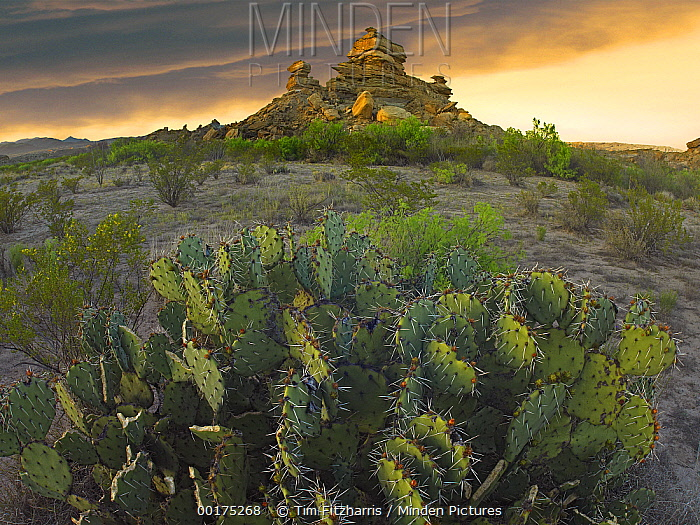 Opuntia (Opuntia sp) and hoodoos, Big Bend National Park, Chihuahuan Desert, Texas  -  Tim Fitzharris