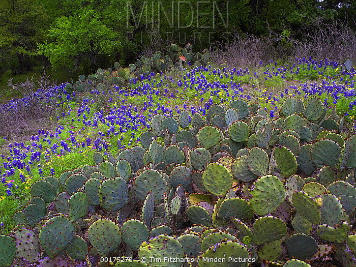Sand Bluebonnet (Lupinus subcarnosus) and Prickly Pear cactus (Opuntia sp), Hill Country, Texas  -  Tim Fitzharris