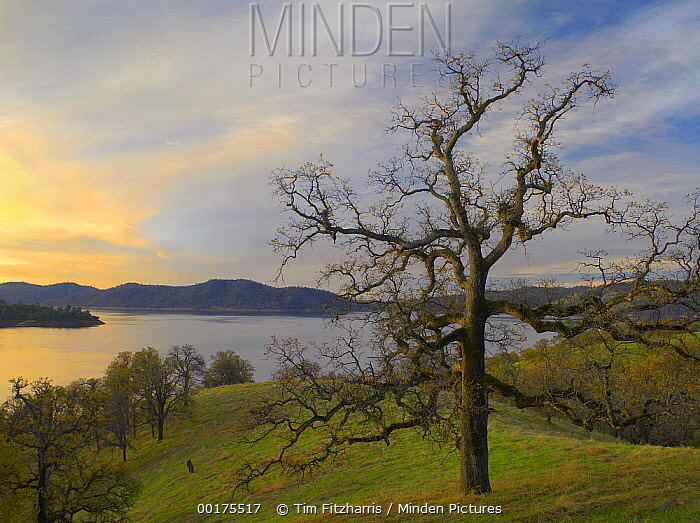 Oak tree at Gloryhole Recreation Area, New Melones Lake, man-made reservoir managed by Central Valley Project, Calaveras County, California  -  Tim Fitzharris