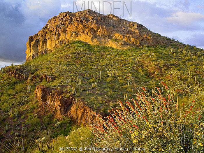 Wildflowers and cactus, Organ Pipe Cactus National Monument, Arizona  -  Tim Fitzharris