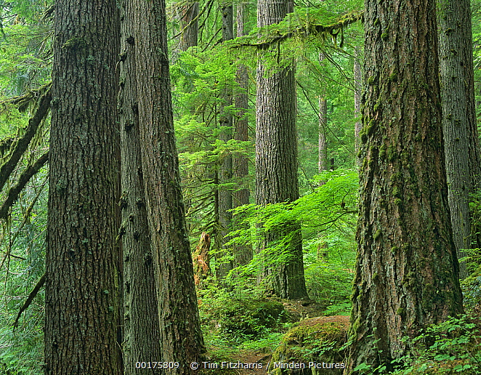 Western Red Cedar (Thuja plicata) old growth forest, Grove of the Patriarchs, Mount Rainier National Park, Washington  -  Tim Fitzharris