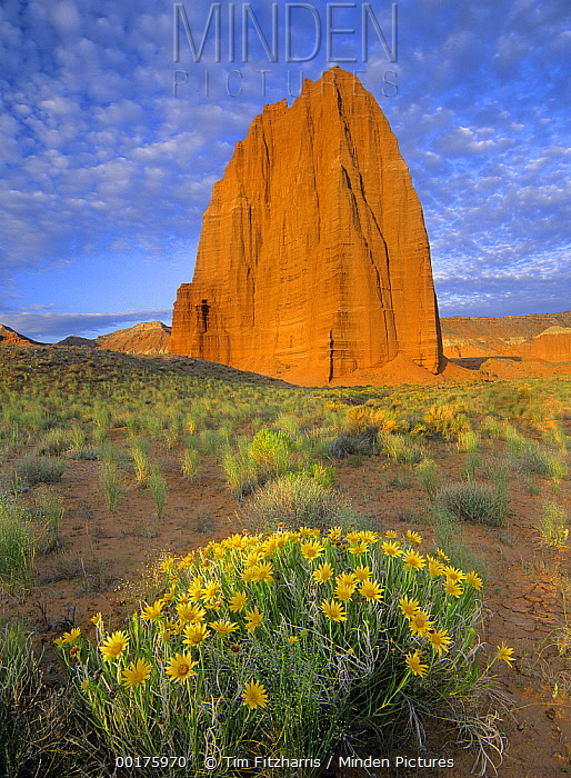 Common Sunflower (Helianthus annuus) cluster and Temple of the Sun, Capitol Reef National Park, Utah  -  Tim Fitzharris