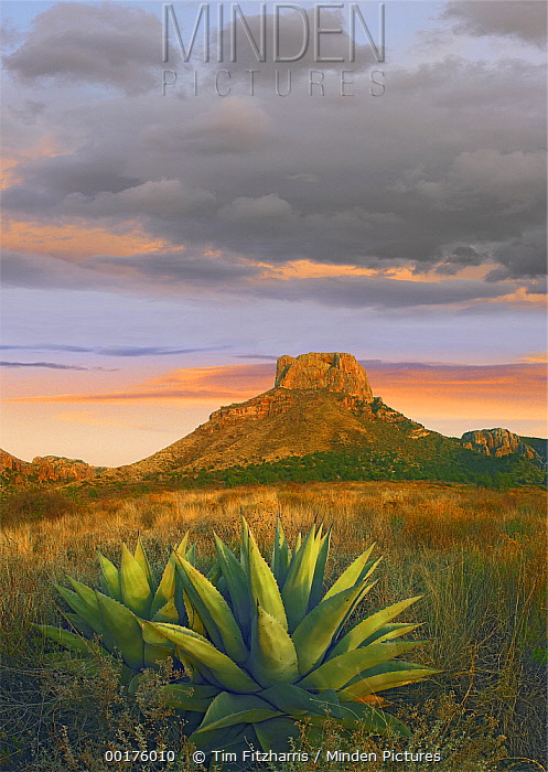 Lechuguilla (Agave lechuguilla) agave with Casa Grande in the distance, Big Bend National Park, Texas  -  Tim Fitzharris