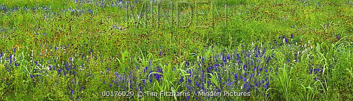 Delphinium (Delphinium staphisagria) and Mexican Hat (Ratibida columnifera) flowers in meadow, North America  -  Tim Fitzharris