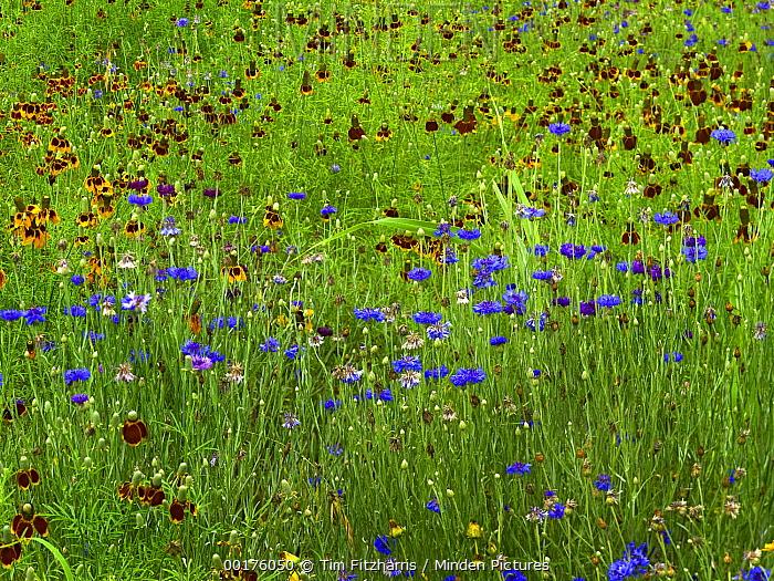 Cornflower (Centaurea cyanus) and Mexican Hat (Ratibida columnifera) flowers in field, North America  -  Tim Fitzharris