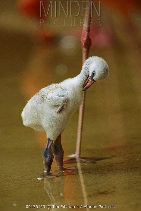 Greater Flamingo (Phoenicopterus ruber) chick preening, Caribbean  -  Tim Fitzharris