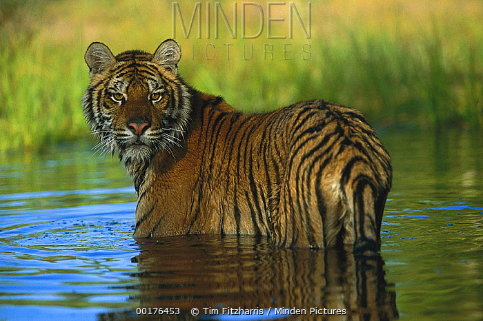 Siberian Tiger (Panthera tigris altaica) in water, native to Siberia  -  Tim Fitzharris