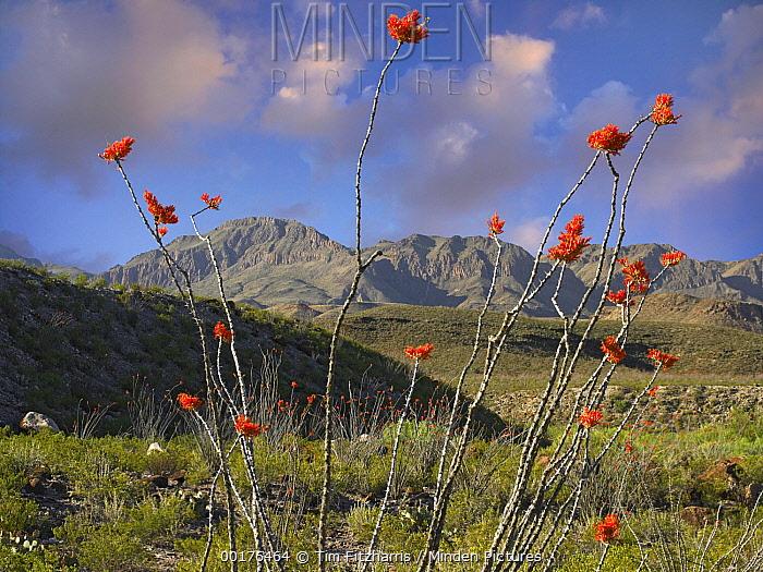 Ocotillo (Fouquieria splendens), Big Bend Ranch State Park, Chihuahuan Desert, Texas  -  Tim Fitzharris