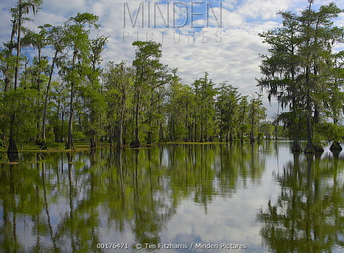 Bald Cypress (Taxodium distichum) swamp, Cypress Island, Lake Martin, Louisiana  -  Tim Fitzharris