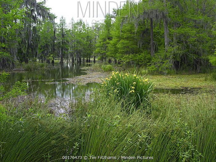 Yellow iris and Bald Cypress (Taxodium distichum), Cypress Island, Lake Martin, Louisiana  -  Tim Fitzharris