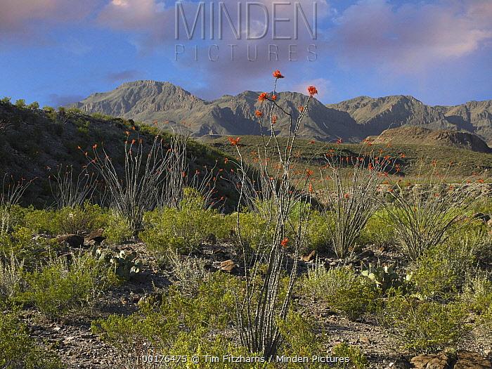 Ocotillo (Fouquieria splendens) in bloom, Big Bend Ranch State Park, Chihuahuan Desert, Texas  -  Tim Fitzharris