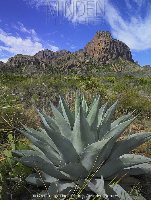 Agave (Agave sp) below Emory Peak, Chisos Mountains, Big Bend National Park, Chihuahuan Desert, Texas  -  Tim Fitzharris