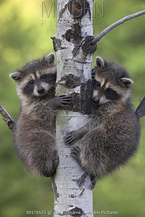 Raccoon (Procyon Lotor) two babies climbing tree, North America  -  Tim Fitzharris