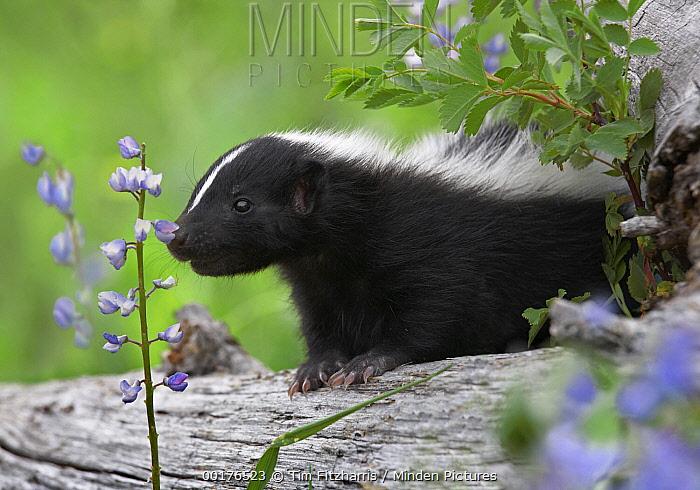 Striped Skunk (Mephitis mephitis) kit smelling a wildflower, North America  -  Tim Fitzharris
