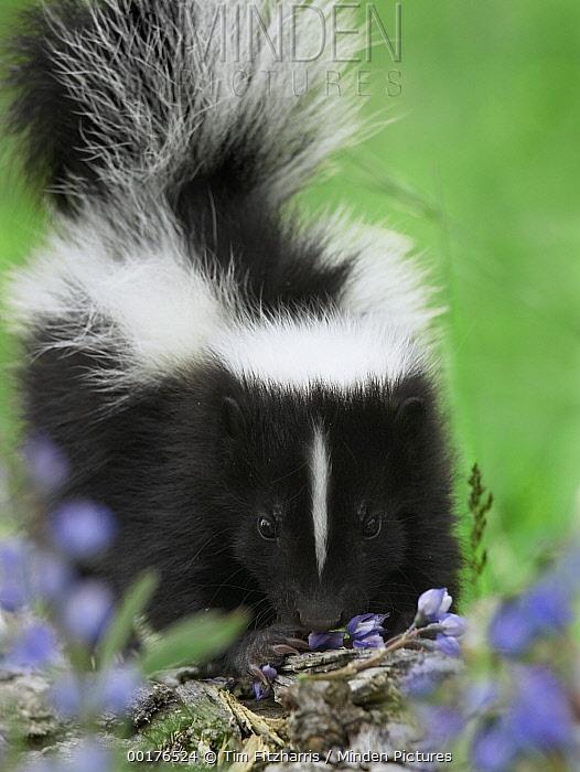 Striped Skunk (Mephitis mephitis) kit eating wildflowers, North America  -  Tim Fitzharris