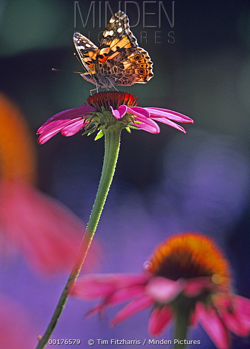 American Painted Lady (Cynthia virginiensis) butterfly on Coneflower (Echinacea sp), New Mexico  -  Tim Fitzharris