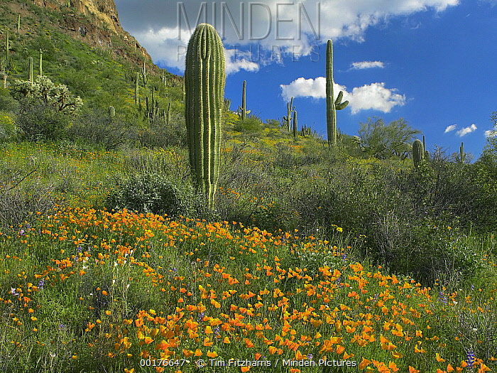 California Poppy (Eschscholzia californica) and Saguaro (Carnegiea gigantea) cacti, Organ Pipe Cactus National Monument, Arizona  -  Tim Fitzharris