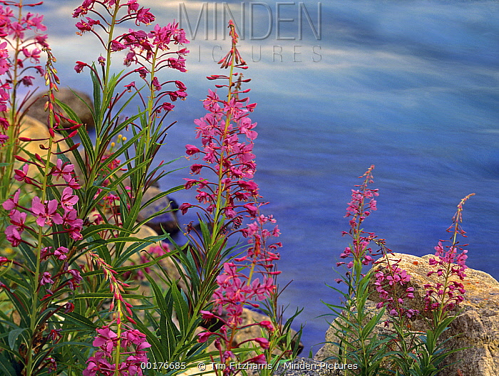 Fireweed (Chamerion angustifolium) against flowing stream, North America  -  Tim Fitzharris