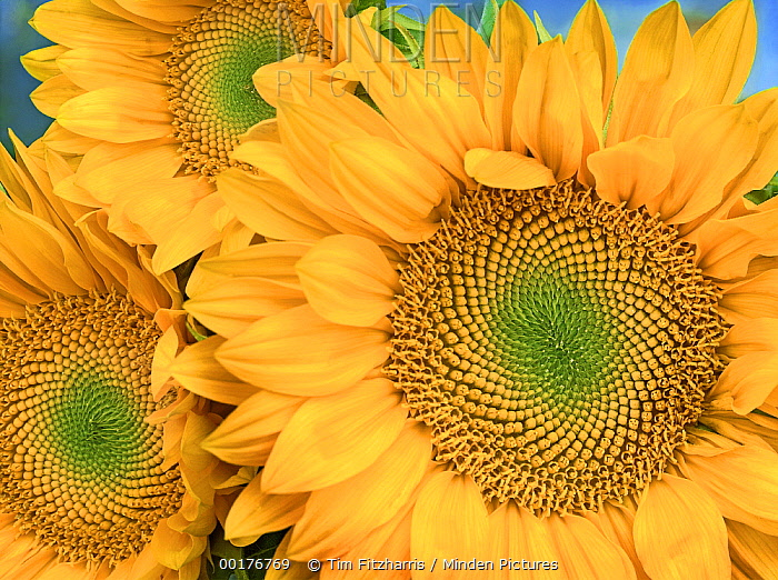 Common Sunflower (Helianthus annuus) group showing symmetrical seed heads, North America  -  Tim Fitzharris
