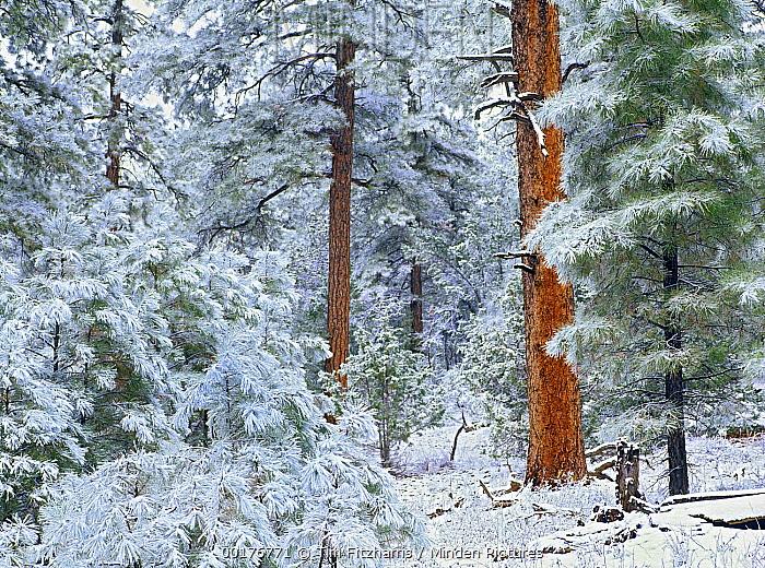 Ponderosa Pine (Pinus ponderosa) forest in snow, Grand Canyon National Park, Arizona  -  Tim Fitzharris