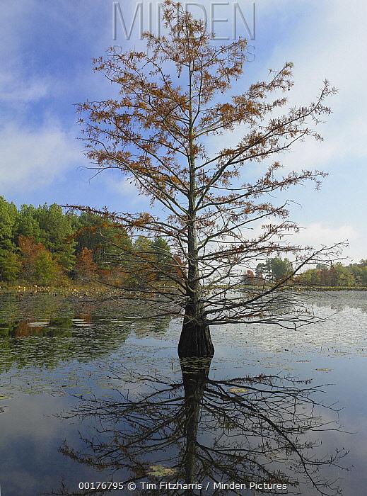 Bald Cypress (Taxodium distichum) reflected in water, Millwood Lake State Park, Arkansas  -  Tim Fitzharris