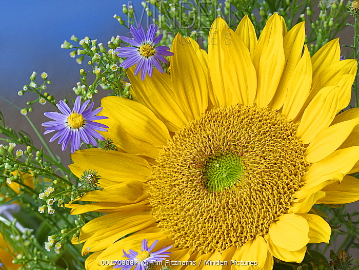 Common Sunflower (Helianthus annuus) and Asters, North America  -  Tim Fitzharris