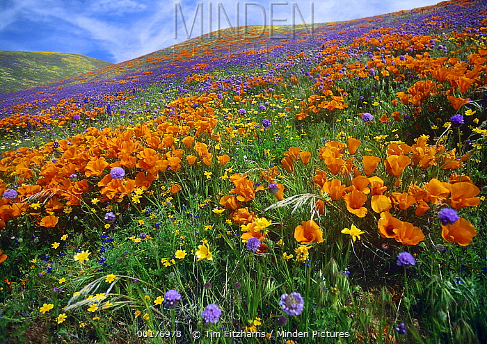 California Poppy (Eschscholzia californica) and other wildflowers growing on hillside in spring, Tehachapi Mountains, California  -  Tim Fitzharris