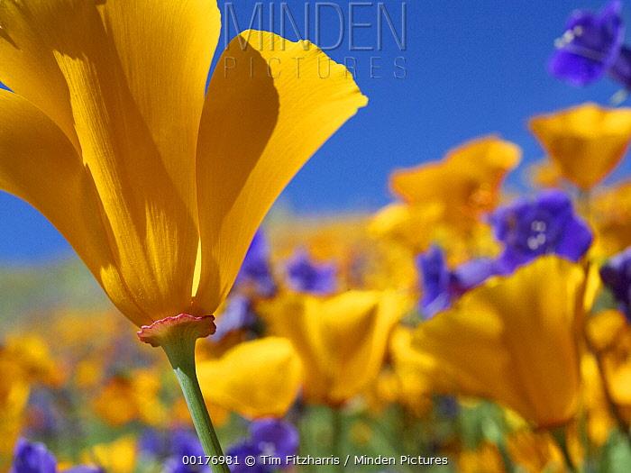 California Poppy (Eschscholzia californica) flowers, Antelope Valley, California  -  Tim Fitzharris