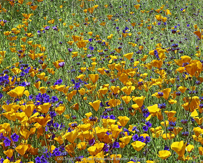 California Poppy (Eschscholzia californica) and Desert Bluebell (Phacelia campanularia) flowers, Antelope Valley, California  -  Tim Fitzharris