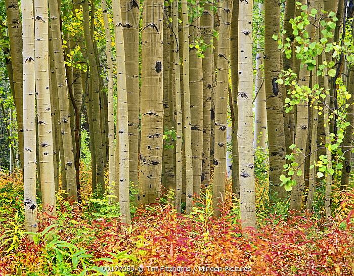 Quaking Aspen (Populus tremuloides) trees and Fireweed (Chamerion angustifolium), Collegiate Peaks Wilderness Area, Colorado  -  Tim Fitzharris
