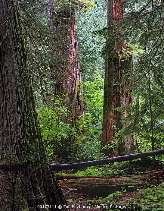 Western Red Cedar (Thuja plicata) forest interior, Grove of the Patriarchs, Mount Rainier National Park, Washington  -  Tim Fitzharris