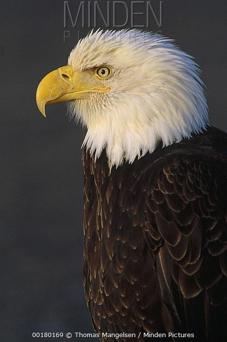 Bald Eagle (Haliaeetus leucocephalus) adult portrait, North America  -  Thomas Mangelsen