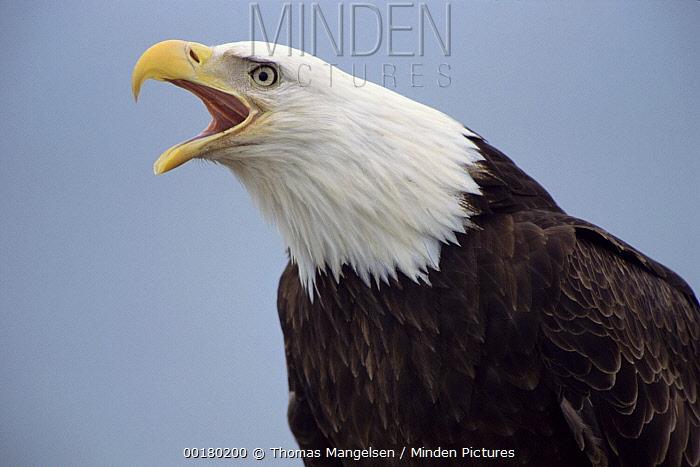 Bald Eagle (Haliaeetus leucocephalus) calling, Southeast Alaska  -  Thomas Mangelsen