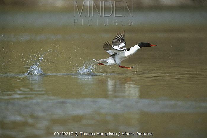 Common Merganser (Mergus merganser) male taking off from Snake River, Grand Teton National Park, Wyoming  -  Thomas Mangelsen