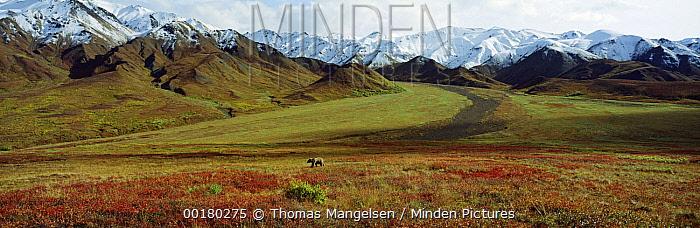 Grizzly Bear (Ursus arctos horribilis) in autumn tundra landscape, Denali National Park and Preserve, Alaska  -  Thomas Mangelsen