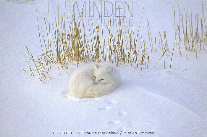 Arctic Fox (Alopex lagopus) curled up resting in snow, Hudson Bay, near Churchill, Manitoba, Canada  -  Thomas Mangelsen