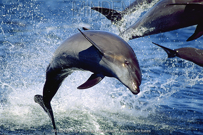 Bottlenose Dolphin (Tursiops truncatus) close up of group leaping, Sea of Cortez, Baja California, Mexico  -  Thomas Mangelsen