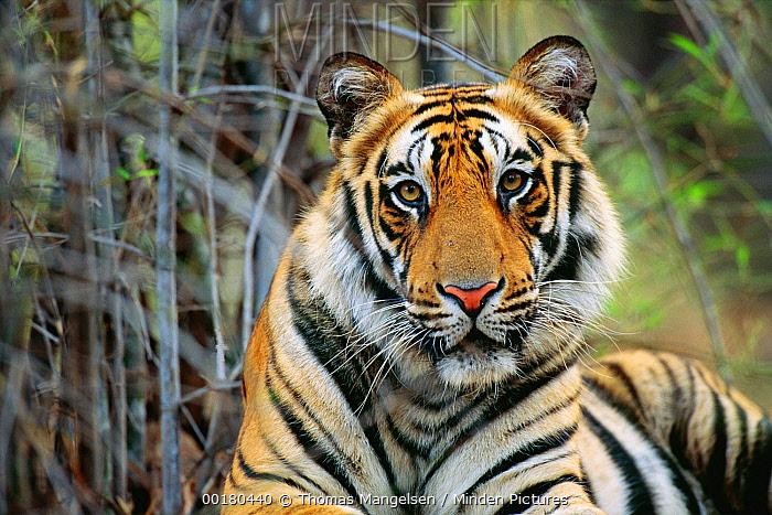 Bengal Tiger (Panthera tigris tigris) portrait, Bandhavgarh National Park, Madhya Pradesh, India  -  Thomas Mangelsen